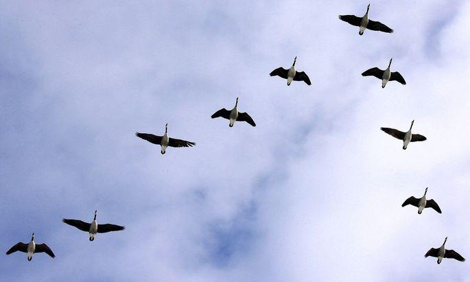 Zugvoegel im Vogelgrippe-Schutzgebiet