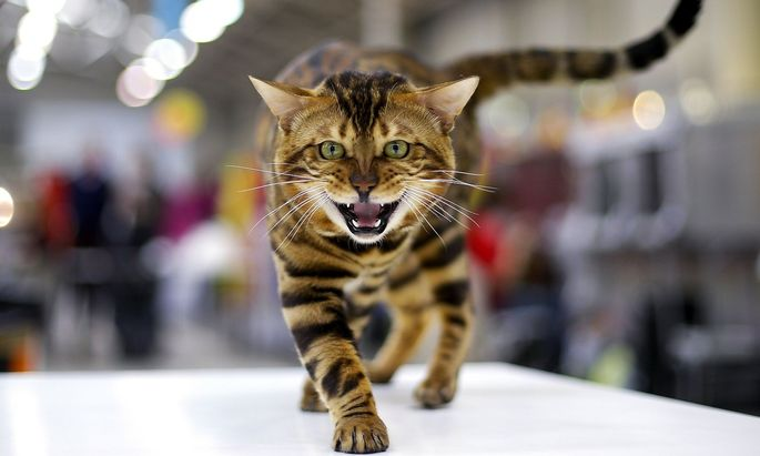 A Bengal cat is seen during the Mediterranean Winner 2016 cat show in Rome
