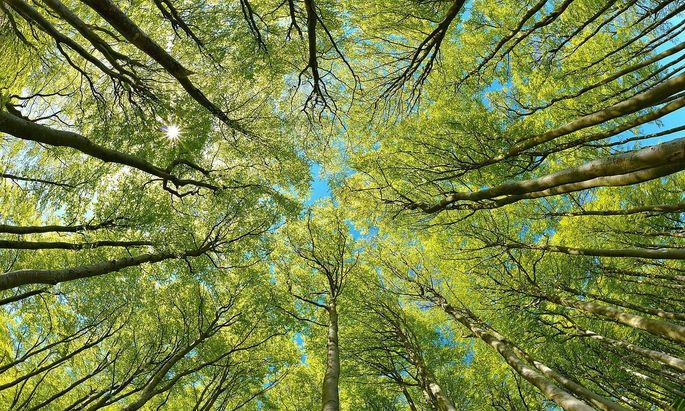 Naturnaher sonniger Buchenwald im Fruehling, Blick in die Baumkronen, frisches Gruen, blauer Himmel, Sonne strahlt durchs