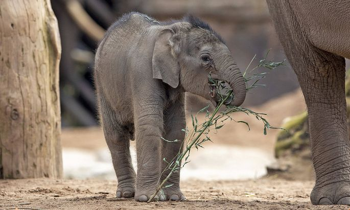 Baby elephant at Chester zoo Riva Hi Way, a baby Asian elephant calf born last month at Chester Zoo, makes her public de