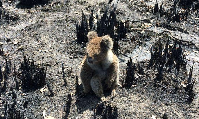 Mehr als eine Milliarde Wildtiere sollen laut Schätzungen in den Buschfeuern ums Leben gekommen sein.