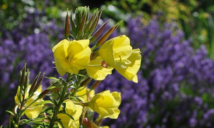 Die gelben Blüten der Nachtkerzen öffnen sich so schnell, dass man dabei zusehen kann.