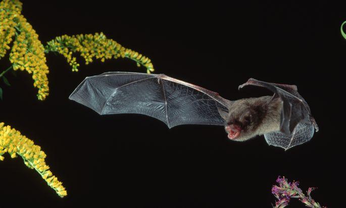 Sie können mit Krankheitserregern leben, die andere Tiere und Menschen töten. Vielleicht werden sie auch deshalb steinalt.
