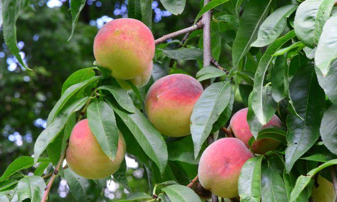 Wer ordentlich ernten will, sollte seine Pfirsichbäume ebenso zurückschneiden.