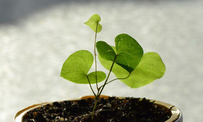 Schildkrötenpflanze: Bis sich das charakteristische Muster zeigt, wird viel Zeit vergehen.