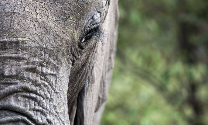 Elefanten betasten sterbende Artgenossen.