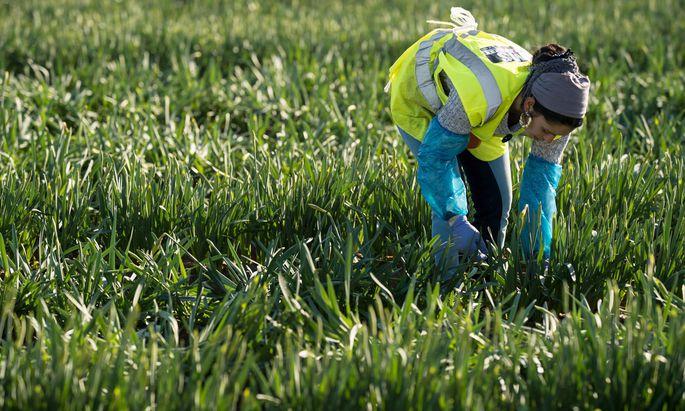 Erntehelfer (im Bild eine rumänische Arbeiterin in England) werden auch in Österreich oft händeringend gesucht.