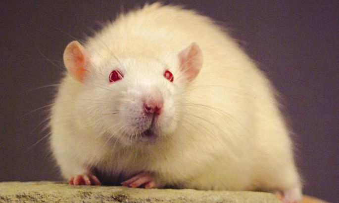 Medizin Tierversuche taeuschen koennen