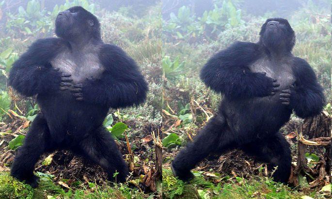 Einer der Berggorillas in Ruanda, die in der Studie erforscht wurden.