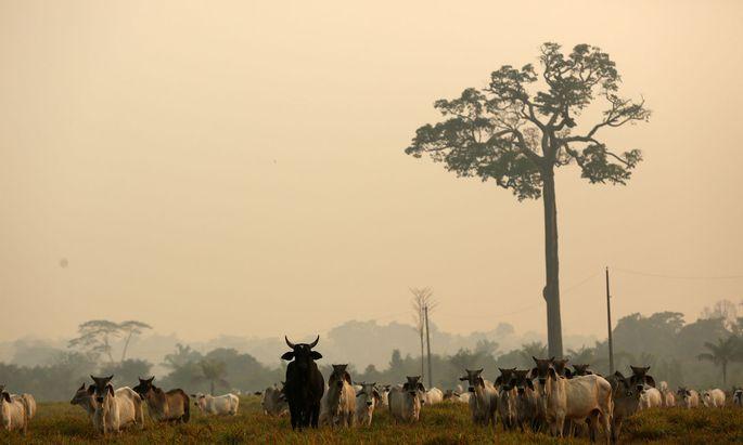 Mittlerweile sorgen sich auch die brasilianischen Landwirte um ihr Exportgeschäft mit Rindfleisch
