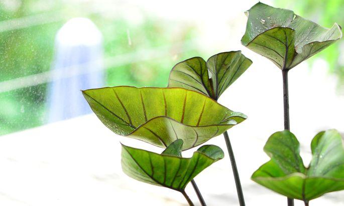 Die wunderbaren Blätter der Colocasia.