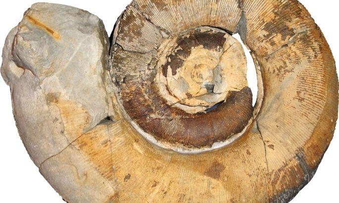 """""""Jeder Schlag bringt etwas Neues"""", sagt Alexander Lukeneder, der auch mit seiner Familie Ammoniten zerlegt."""