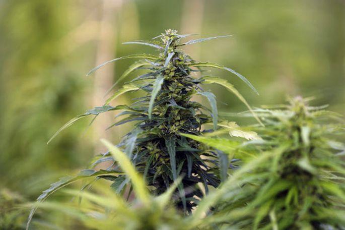 Eine Cannabis-Plantage.