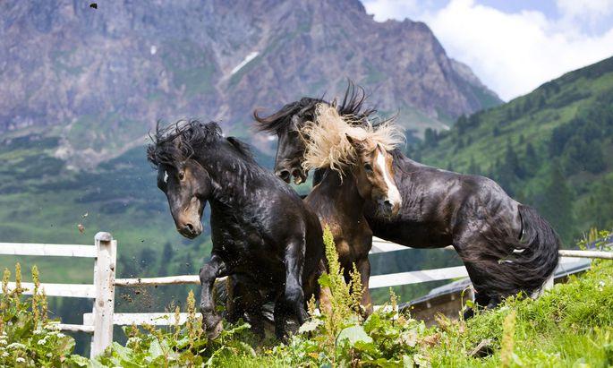 Setzen sie sich wieder stärker durch? Norikerhengste beim Rangordnungskampf auf einer Tiroler Alm.