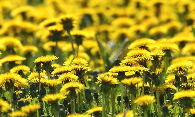 Loewenzahnwiese - a meadow gay with dandelion