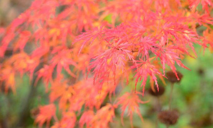 Japanische Fächer- und Schlitzahorne sind wegen ihrer graziösen Gestalt sehr beliebt.