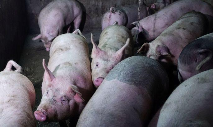 Diese Schweine sind unschuldig. Symbolbild.