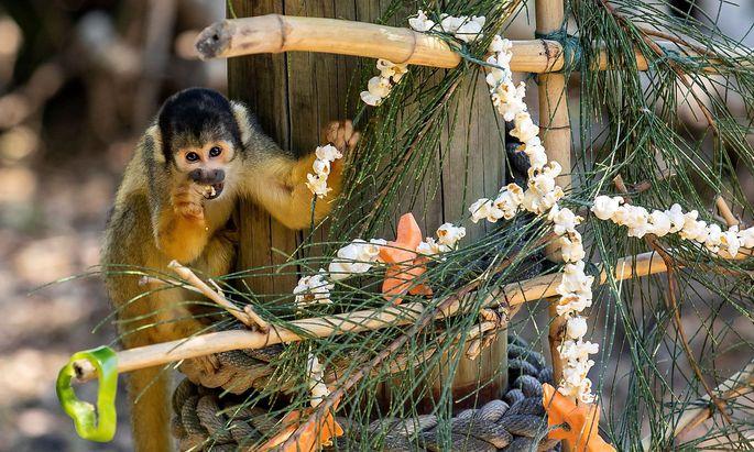 Taronga Zoo animals receive Christmas treats in Sydney