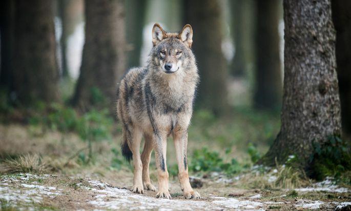Die Wolfspopulationen in Österreich wachsen – der Widerstand gegen die Tiere auch.