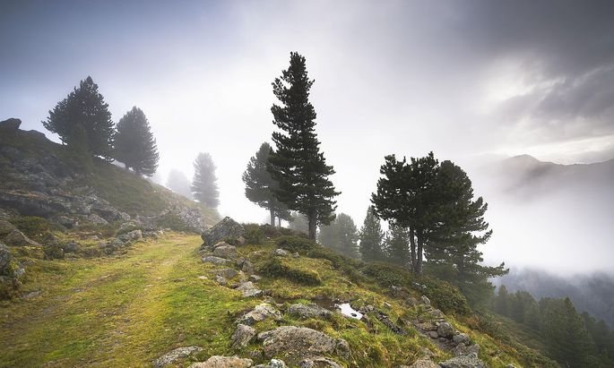 Overgrown trail on alpine mountain pasture, Juifenalm, in the back pines (Pinus cembra), mountain forest in fog, Sellraintal, Tyrol, Austria
