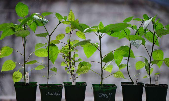 Chilipflanzen benötigen zum Auskeimen vergleichsweise viel Zeit.