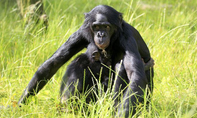 Die gefundenen Knochen sind in Größe und Proportionen am ehesten mit den heutigen Bonobos vergleichbar.