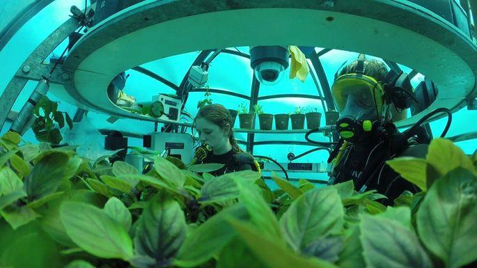 Basilikumernte unter Wasser