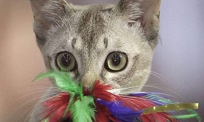 A Singapura cat plays with a toy during an international feline beauty contest in Bucharest, Romania,