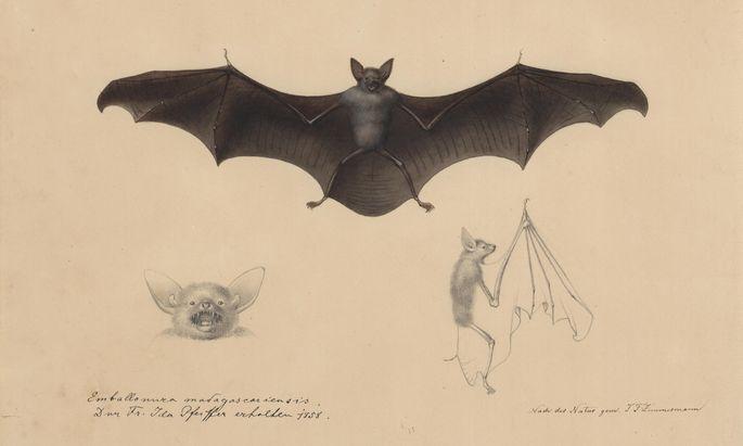 Diese historische Zeichnung der Fledermaus Emballonura madagascariensis wurde von Theodor Franz Zimmermann angefertigt. Das Tier wurde 1858 von der Naturforscherin Ida Pfeiffer in Madagaskar gesammelt und an das Naturaliencabinet nach Wien gesandt.