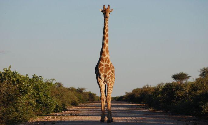 Den längsten Tag des Jahres, den 21. 6., haben Giraffenschützer zu dem ihrer Schutzbefohlenen ausgerufen.