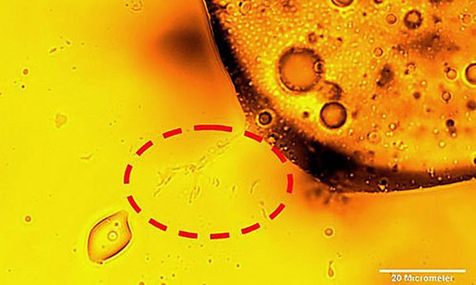 In this undated image provide by the journal Science, microbes degrade oil, indicated by the circle o