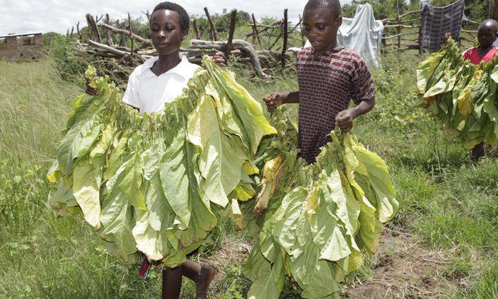 Die Kinder greifen die giftigen Blätter ohne Handschuhe an.