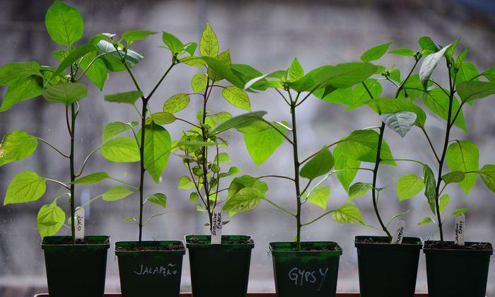 Chilipflanzen