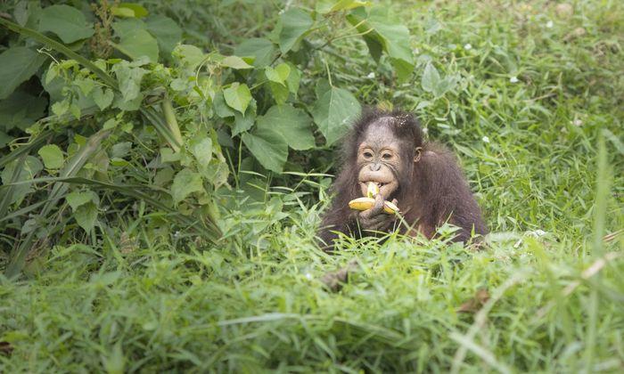 Ausgewilderte Orang Uthans auf einer Insel in der Naehe des Dorfs Merasa In Folge der Entwaldung au