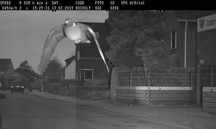Diese Taube war zu schnell unterwegs, sagt das Radargerät der Gemeinde Bocholt.