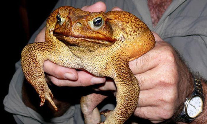 Graeme Sawyer holds a 40cm (15 inch) long cane toad near Darwin
