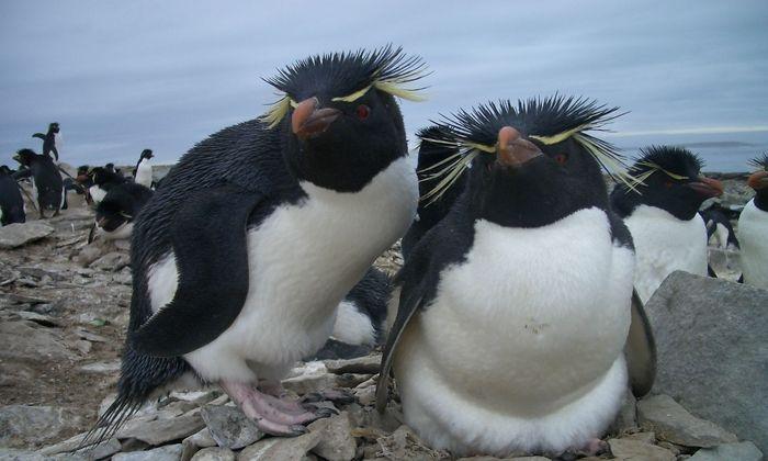 Die Vorfahren dieser Rockhopper-Pinguine dürften sich weit früher entwickelt haben als angenommen.