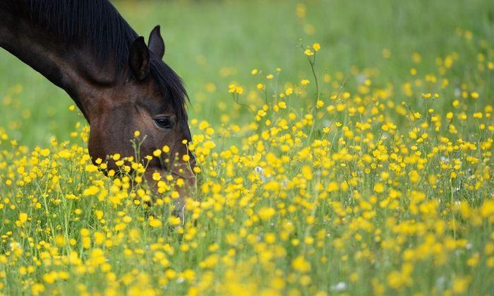 Pferd auf Butterblumenwiese