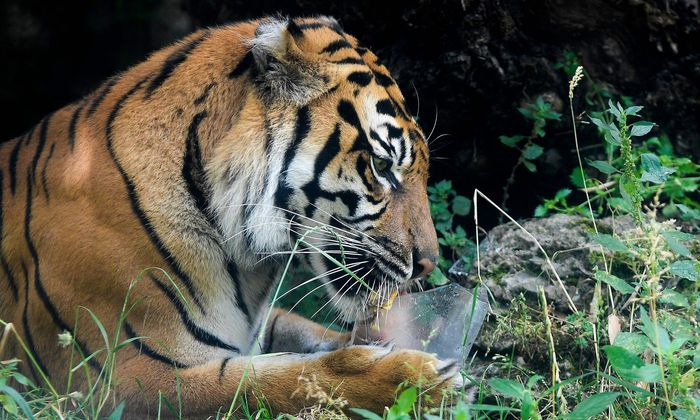 Unter den beschlagnahmten Tieren waren auch 30 Großkatzen (Symbolbild)
