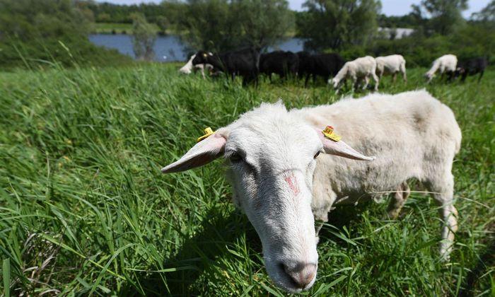 """Die """"genügsamen"""" Krainer Steinschafe """"mähen"""" das Gras auf der Donauinsel"""