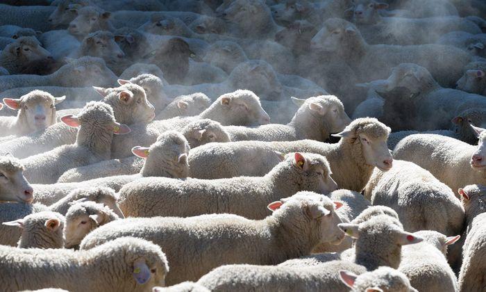 """30 Millionen Schafe bilden das Rückgrat der neuseeländischen Wirtschaft. Sie haben inzwischen """"Konkurrenz"""" von Kühen und Rindern bekommen."""