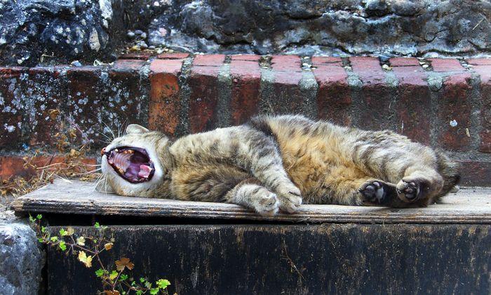 gaehnende Vielleicht sollten wir alle einfach ein bisschen länger schlafen.- gaping cat