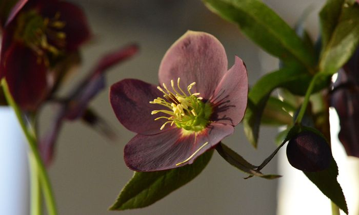 Derzeit stehen beispielsweise die Lenzrosen in voller Blüte.