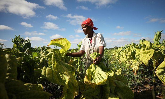Gentechnisch veränderte Tabakpflanzen sollen – unter Laborbedingungen – therapeutische Wirkstoffe produzieren.