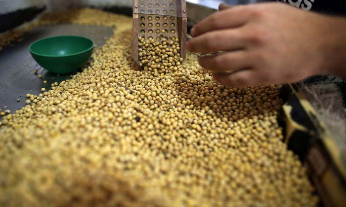 Die Sojabohne (Glycine max) ist global eine der wichtigsten Feldfrüchte.