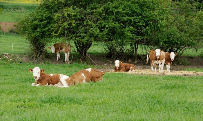 Landwirt im Flachgau von Stier attackiert (Symbolbild)