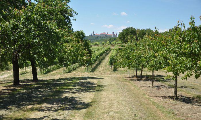 Der Blick belohnt die Mühe:Wanderer schauen zwischen Marillenbäumen auf das Benediktinerkloster Göttweig.