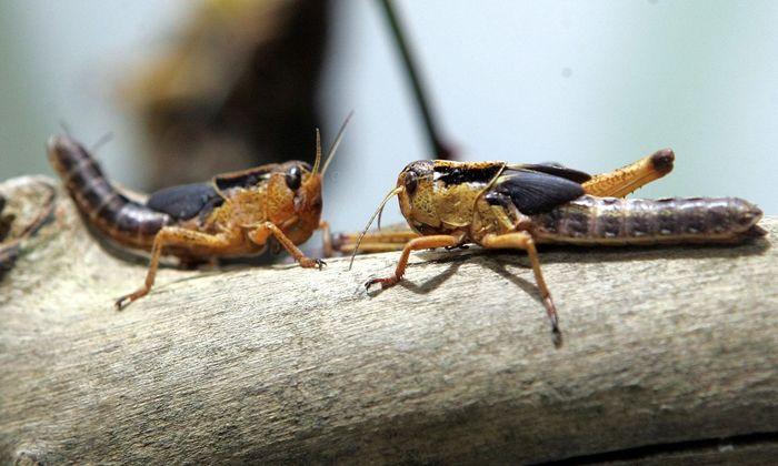 Symbolbild: Heuschrecken