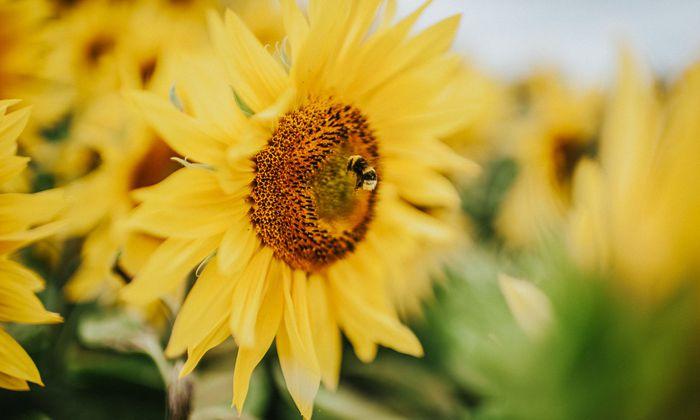 Eine Hummel sammelt auf einer Sonnenblume Pollen ein.