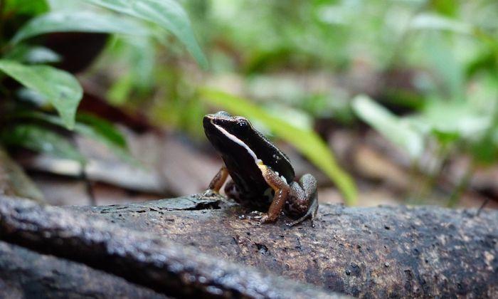 Pfeilgiftfrosch in Südamerika